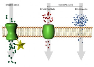 tipostransportemembrana