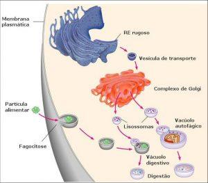 imagem_digestao_intracelular